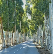 17th Jul 2017 - All those old Blue Gum trees.....