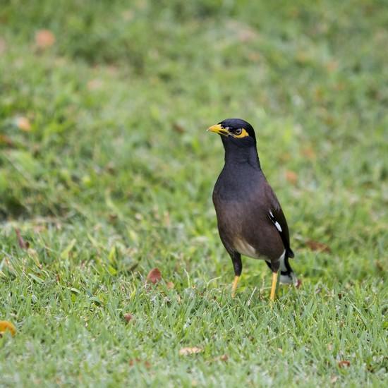 Myna Bird by irishmamacita10