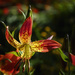 Morning Light On Tiger Lily  by jgpittenger