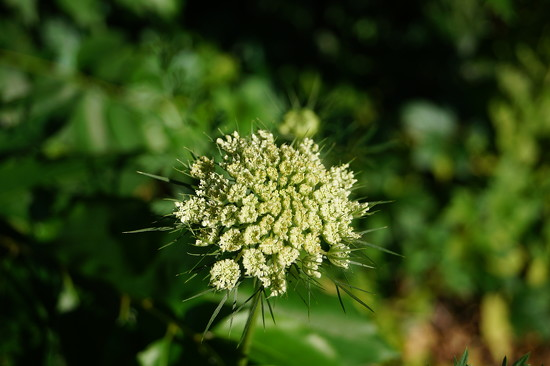 Queen Anne's Lace by meotzi
