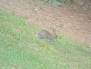 17th Jul 2017 - Rabbit in Backyard at Angle