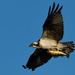 osprey with supper by mjalkotzy