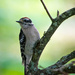 Downy Woodpecker by novab