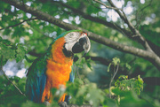 17th Jul 2017 - Macaw in a Maple Tree