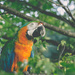 Macaw in a Maple Tree by lyndemc