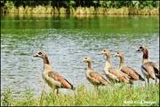 18th Jul 2017 - Egyptian goose family