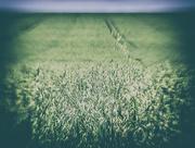 18th Jul 2017 - wheat 'n' sky