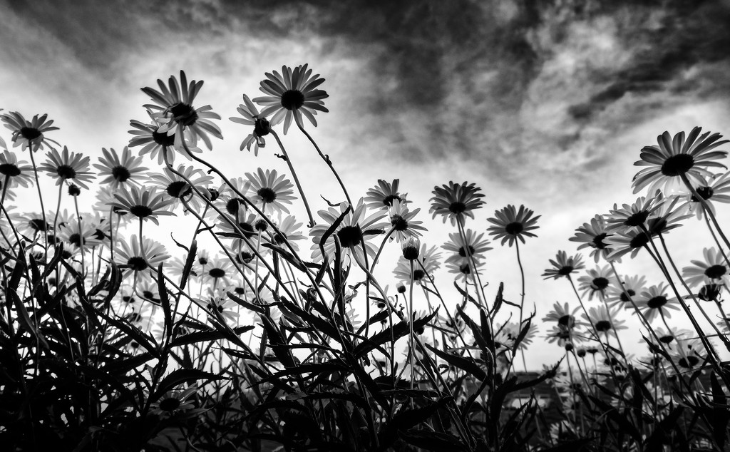 Marguerites... reaching for today's stormy sky by vignouse