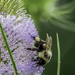 Bumblebee on a Teasel
