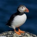 PUFFIN by markp