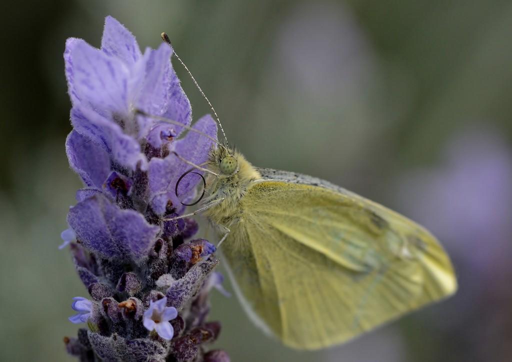Another Butterfly Rescue_DSC4489 by merrelyn