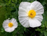 14th Jul 2017 - Big white flowers