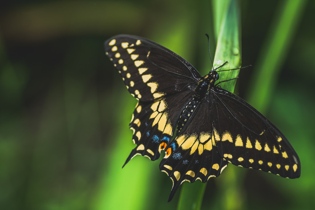 black swallowtail or Papilio polyxenes by jackies365