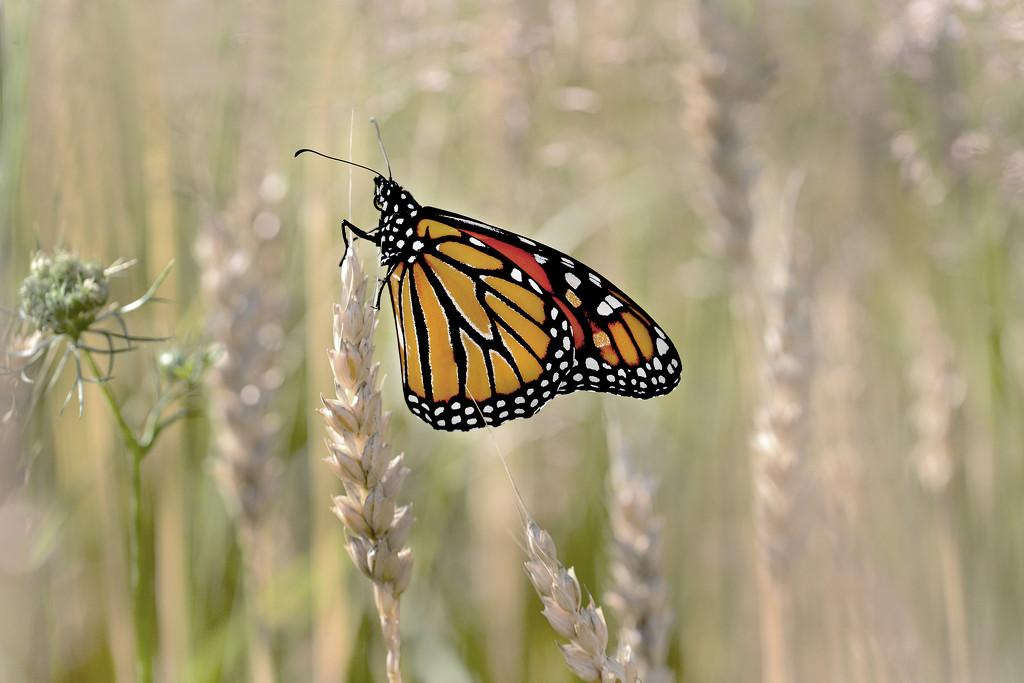 Monarch in the Wheat field! by fayefaye