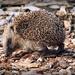 Hedgehog by yorkshirekiwi