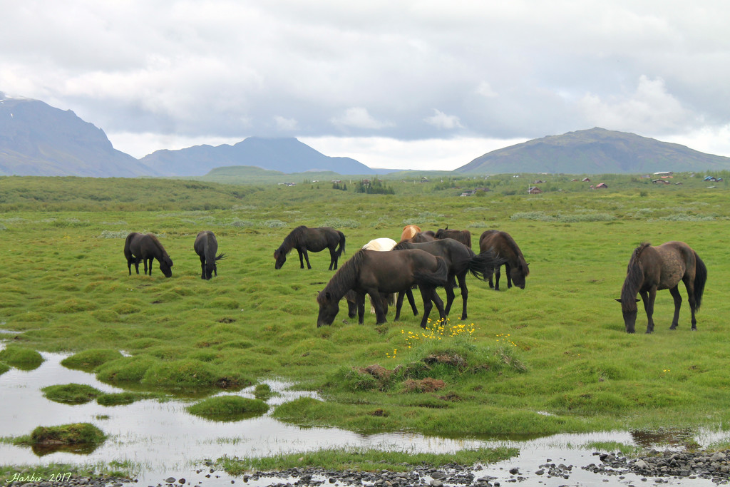 Icelandic Horses by harbie
