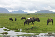 19th Jul 2017 - Icelandic Horses