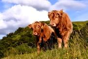 20th Jul 2017 - calf of the day