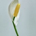Peace lily by maureenpp
