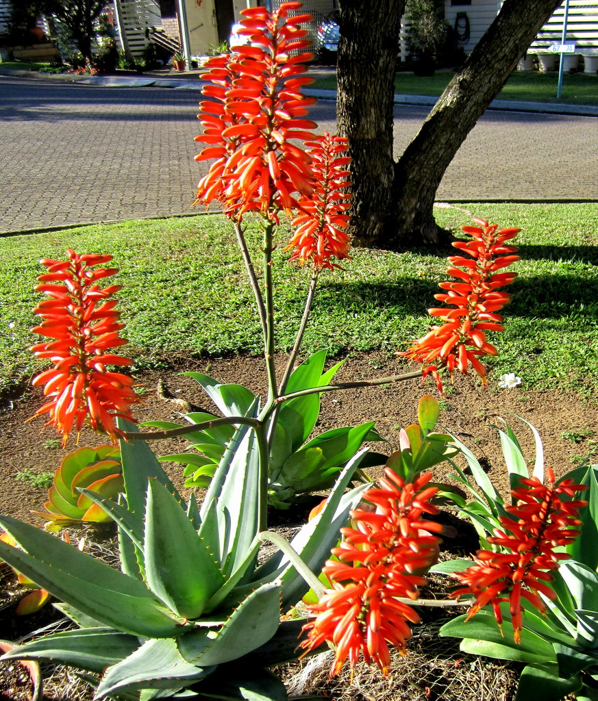 My Sth African Aloe, flowering for the first time by 777margo