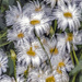 Wind Battered Daisies by megpicatilly
