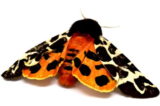 moth by christophercox