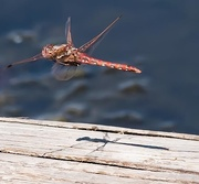 9th Jul 2017 - Dragonfly Hover with Shadow