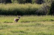 21st Jul 2017 - Antelope Buck