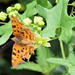 Another tatty butterfly! by bigmxx
