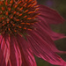 Cone Flower by skipt07
