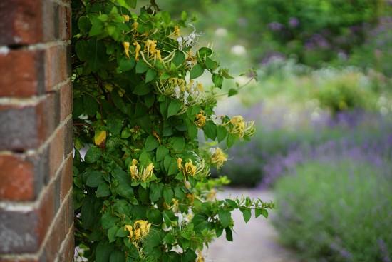 honeysuckle in the archway by quietpurplehaze