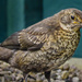 Young Blackbird by tonygig