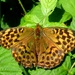 Dark Green Fritillary by julienne1