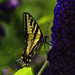 Swallowtail on Butterfly Bush by jgpittenger