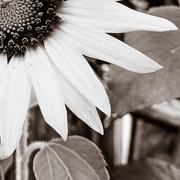 22nd Jul 2017 - Sunflower Sonata, movement 2