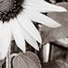 Sunflower Sonata, movement 2 by randystreat