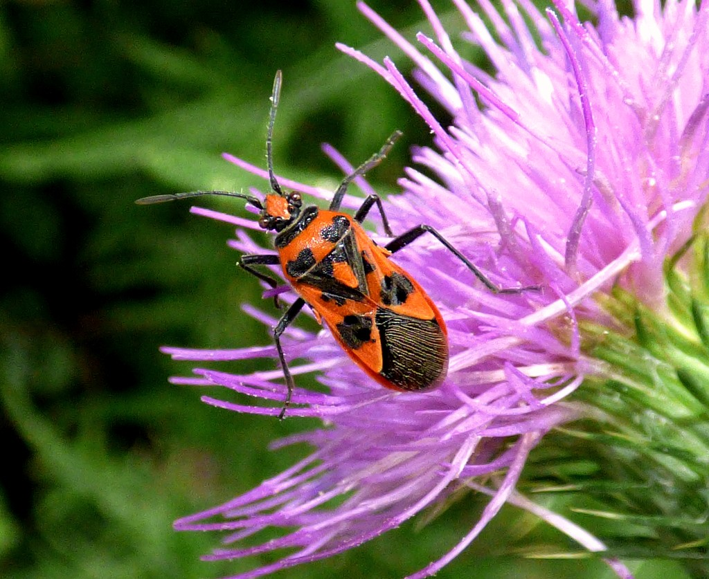 Cinnamon Bug - Corizus hyoscyami by julienne1