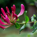 Honeysuckle bud - in the rain... by vignouse