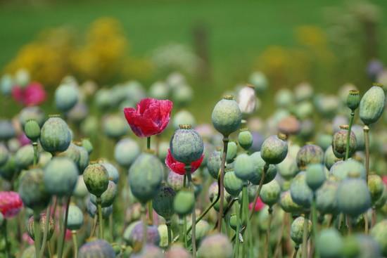 poppy seeds by gijsje