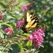 Butterfly on a butterfly bush by tunia