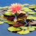 Lotus Blossoms  by joysfocus