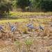 Flock of Brolgas by terryliv