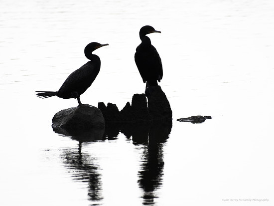 Cormorants in silhouette by mccarth1