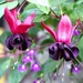 More Fuchsias