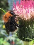 25th Jul 2017 - Tree bumblebee