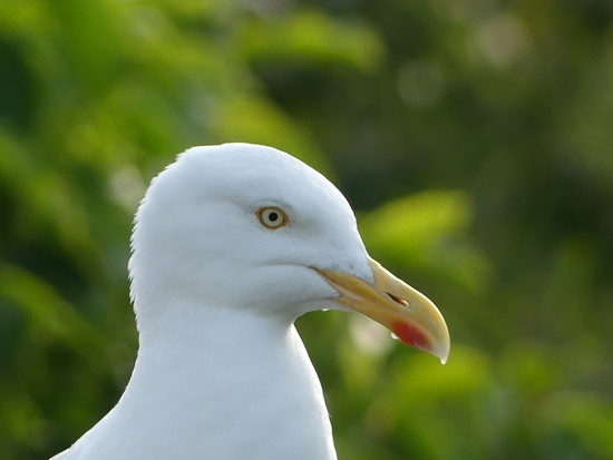 A Herring Gull by snoopybooboo
