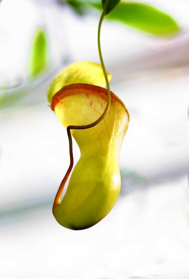 Pitcher plant by maureenpp