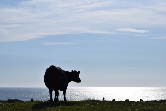 Tiree cow by christophercox
