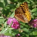 Great Spangled Fritillary by tunia