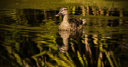 26th Jul 2017 - Mrs Quacker and Reflection, Out for a Stroll!